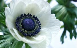 Fotografia de macro de flor anêmona branca