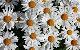 Preview wallpaper White chamomile flowers, petals, water droplets