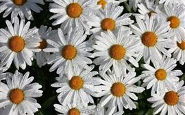 Flores de camomila branca, pétalas, gotas de água
