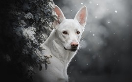 White dog front view, snowy, winter