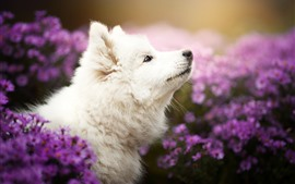 Preview wallpaper White dog take head up, purple chrysanthemum