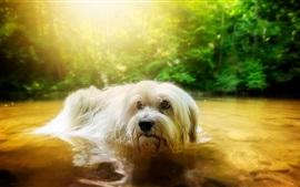 Chien à fourrure blanc dans l'eau, étang, arbres