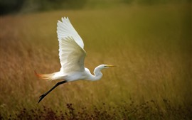 Preview wallpaper White heron flying, grass