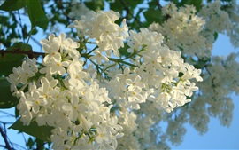 Preview wallpaper White lilac flowers, spring