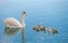 Família de cisne branco, crianças, lago