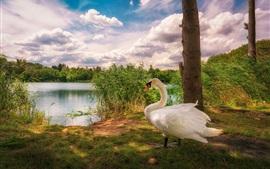 Cisne blanco, juncos, lago, nubes