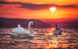 Preview wallpaper White swans, lake, sunset