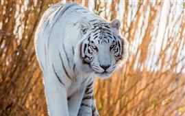 Aperçu fond d'écran Tigre blanc à pied à vous