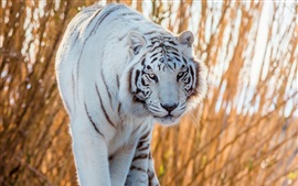 Белый тигр идет к вам