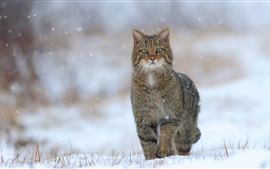 Wild cat, snow, winter, grass