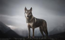 Lobo, montaña, anochecer
