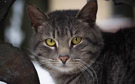Aperçu fond d'écran Les yeux jaunes chat gris vous regardent