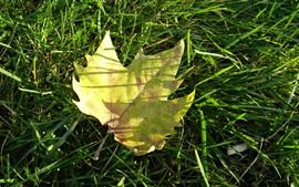 Hoja de arce amarilla, hierba verde
