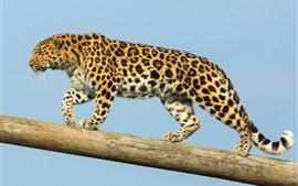 Amur leopard walk, maletero