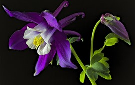 Preview wallpaper Aquilegia purple flower macro photography