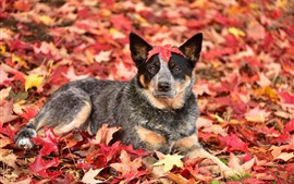 Preview wallpaper Autumn, dog, red maple leaves
