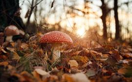 壁紙のプレビュー 秋、森林、赤いきのこ、自然