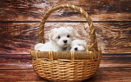 Preview wallpaper Basket, two white puppies