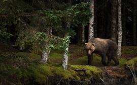 Preview wallpaper Bear, forest, moss