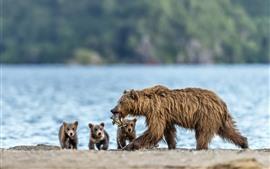 미리보기 배경 화면 곰 가족, 새끼, 사냥, 물고기