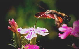 Preview wallpaper Bee-moth, flight, wings, absorption honey, pink flowers