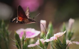 Traça de abelha, flores cor de rosa