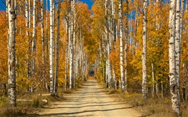 Birch, trees, path, channel