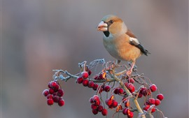 Preview wallpaper Bird, red berries, frost, cold