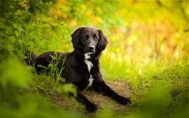 Cão preto, fundo verde