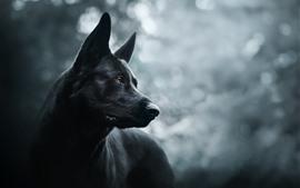 壁紙のプレビュー 黒い犬、かすみ