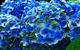 Preview wallpaper Blue hydrangea, flowers, flowering