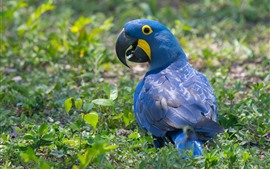 Preview wallpaper Blue parrot standing on ground