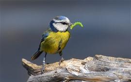 Mésange bleue mange une chenille