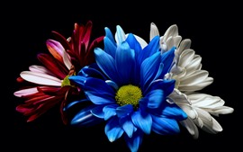 Preview wallpaper Blue white and red gerbera flowers, black background