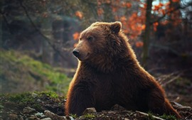 Preview wallpaper Brown bear, front view, wildlife