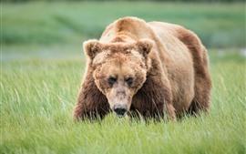Urso pardo, grama, olhar