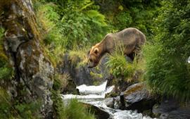 Preview wallpaper Brown bear look at creek