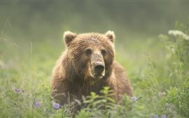 Brown bear look, head, grass, summer