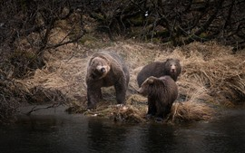 Preview wallpaper Brown bears family, grass, water