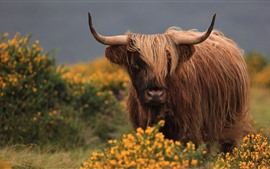 Preview wallpaper Brown bull, hairy, horns
