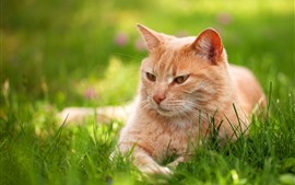 Preview wallpaper Brown cat, grass, rest, hazy