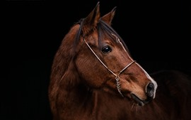 Preview wallpaper Brown horse, head, black background