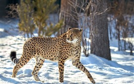 Preview wallpaper Cheetah, look back, snow, winter