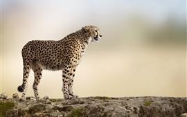 Preview wallpaper Cheetah, rocks, blurry background