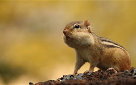 Chipmunk, sunflower seeds