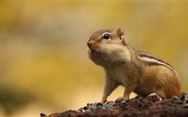 Chipmunk, sementes de girassol