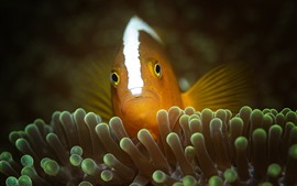Preview wallpaper Clownfish, fish, underwater, sea anemones