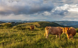Preview wallpaper Cows, grass, mountains, clouds, sky