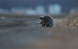 Cute animal, possum