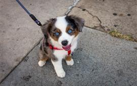 Filhote de cachorro bonito olhos azuis, animal de estimação